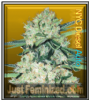 Auto NYC Diesel Just Female Mix & Match Seeds